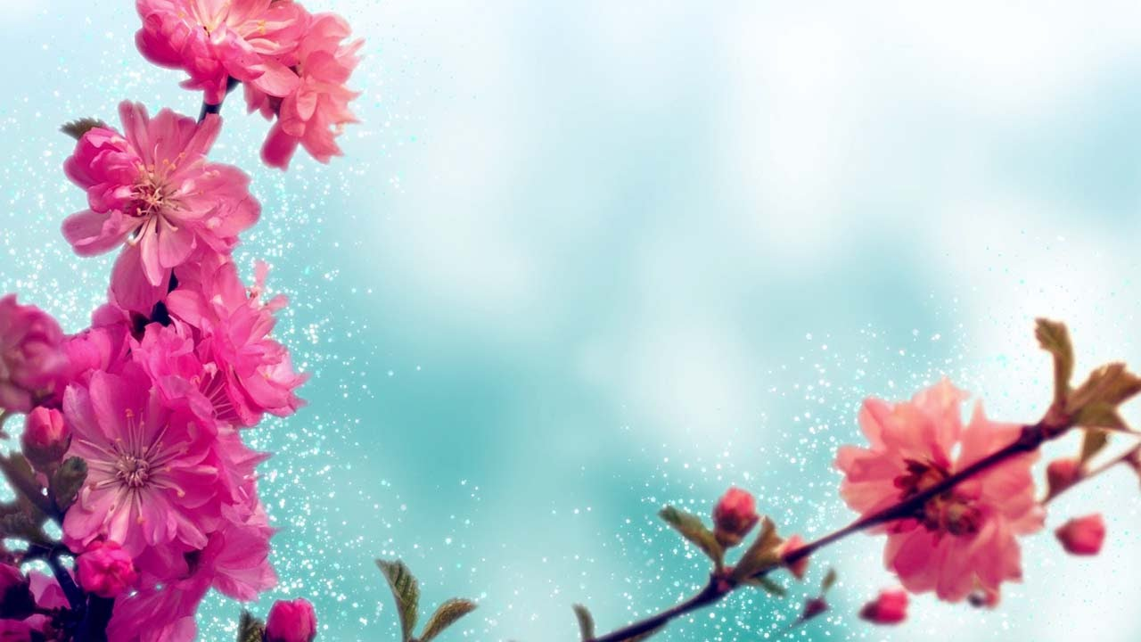 Falling Cherry Blossom Wallpaper Hd Spring Background Loop Pink Cherry Blossoms Youtube