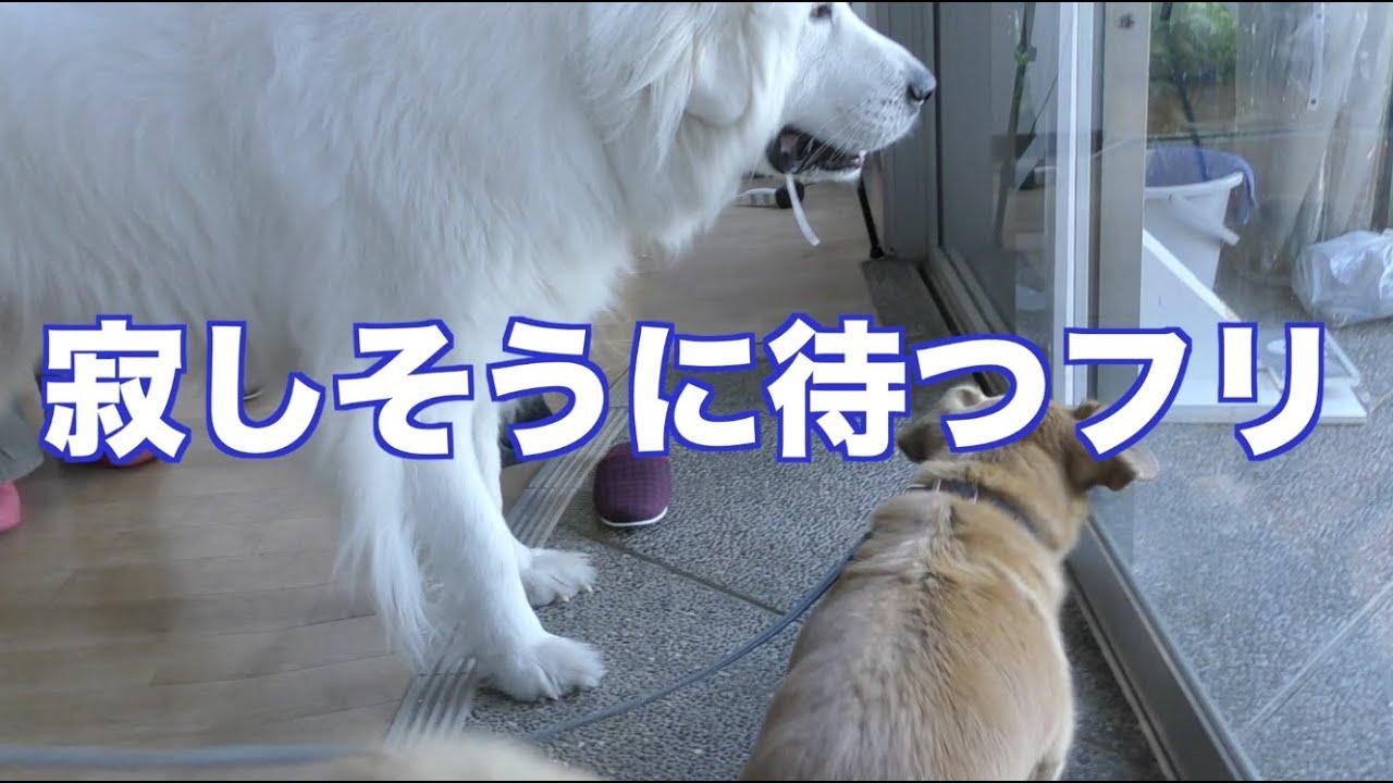 グレートピレニーズとMIX犬のセラピードッグ