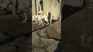Вязка Средне Азиатской овчарки. Кыргызстан.