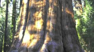 las secuoyas gigantes de california