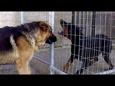 German Shepherd VS Dobermans - YouTube