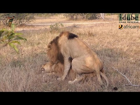 WILDlife: Lions Roaring After Pairing