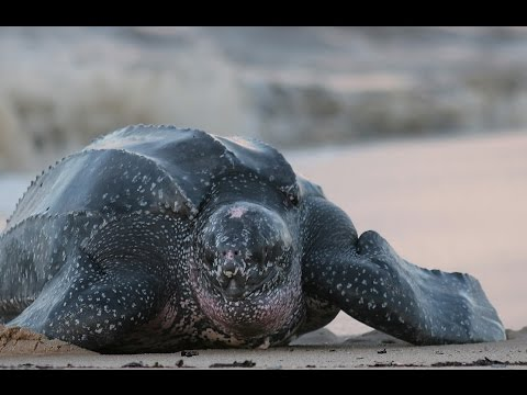 Amazing Facts About Leatherback Sea Turtles