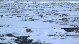 Video Polar bear jumping over ice floe download MP3, 3GP, MP4, WEBM, AVI, FLV September 2018