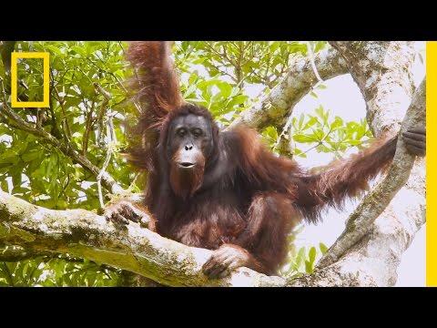 "Watch Orangutans Build Umbrellas, ""Kiss-Squeak,"" and More | National Geographic"