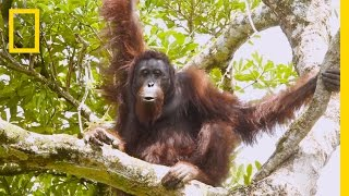 Watch Orangutans Build Umbrellas,  Kiss Squeak,  and More | National Geographic