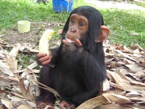 Baby chimp Osso eating a banana
