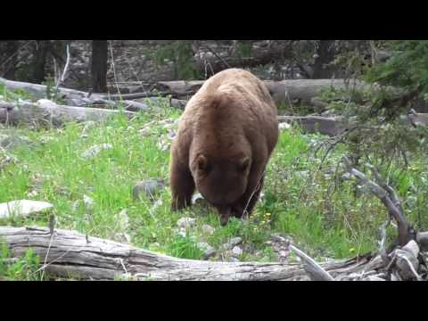 Cinnamon black bear Baronnet Yellowstone June 2016