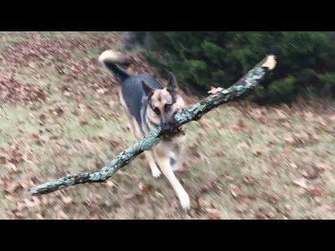 Smart Dog Helps Gather Firewood