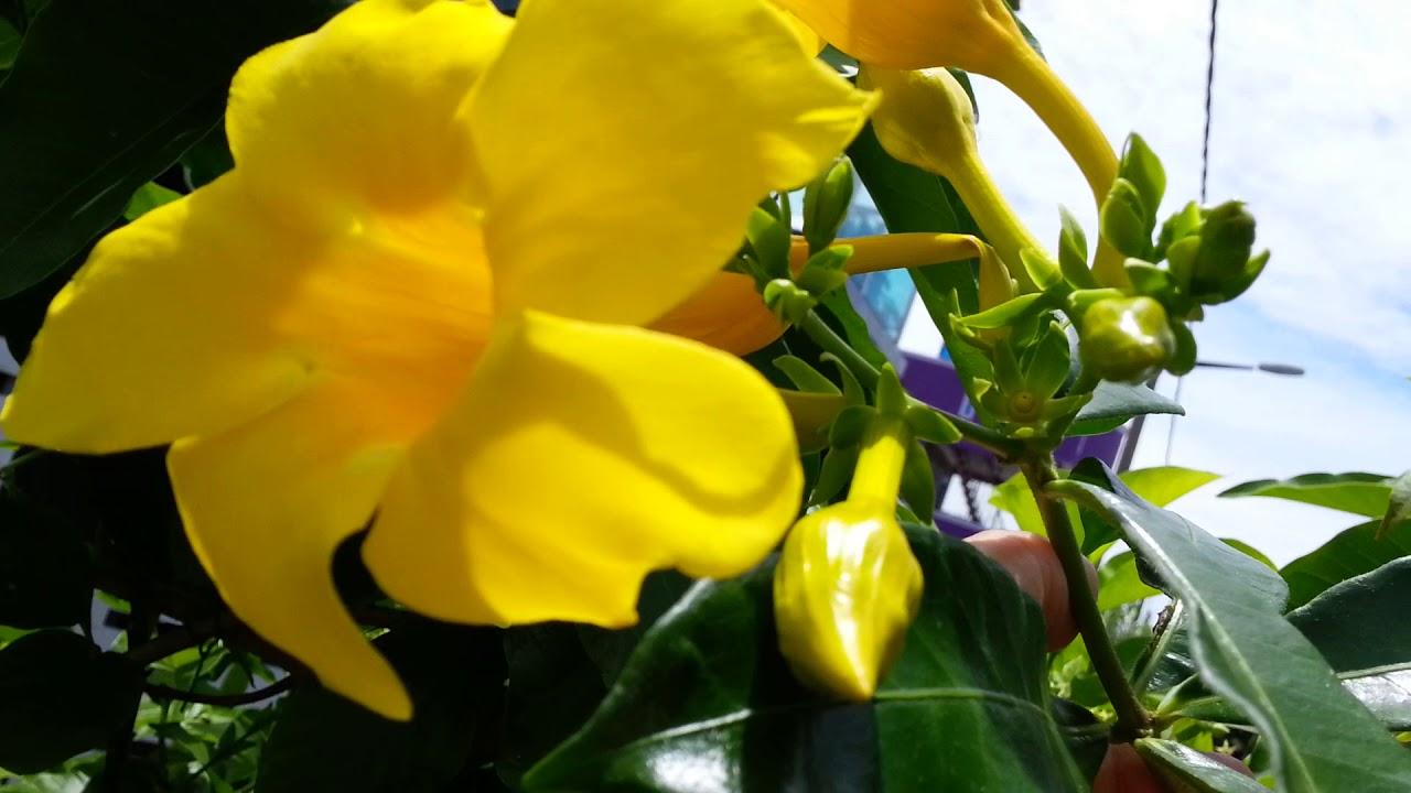 Yellow Bellgolden Trumpetbutter Cup Flowerallamanda Cathartica