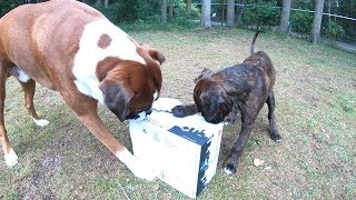 Boxer Puppy Surprise Gift  Welcome Home Sammie And Happy Birthday (soon) Rex