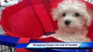"""Adorable Maltese Puppy """"bentley"""" - Michelines Pups For Sale"""