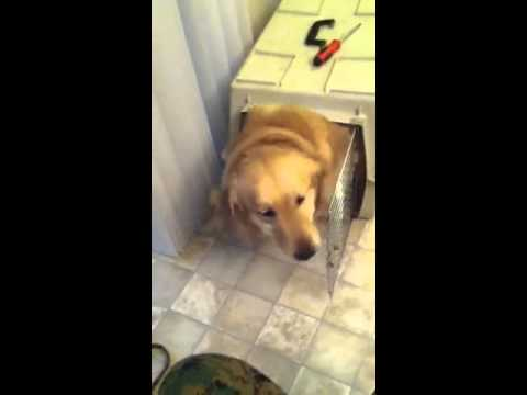 Medium pet carrier gives birth to large golden retriever