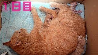 保護した野良猫ちゃんから元気な子猫が産まれました 茶トラちゃんの子育て1日目
