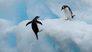 Top 10 Most Funny Penguin Videos EVER