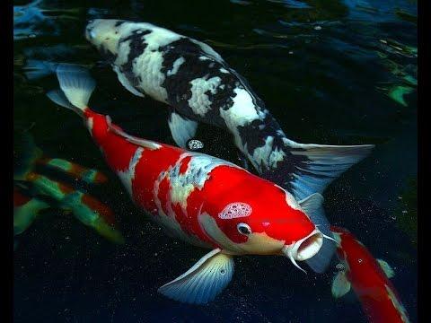 บ่อปลาคาร์ฟอิฐประสาน โอ่งน้ำพุ ถังกรองบ่อ ลงมือทำเองหมด ใช้งบนิดเดียว