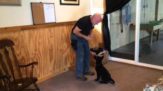 "German Shepherd Puppy ""dallas"" Puppy Training 11 Weeks"