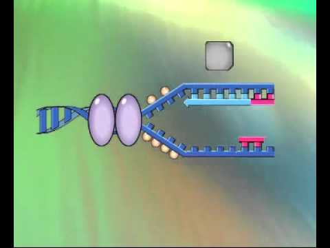 Quá trình nhân đôi của ADN (Diệp + Trâm)