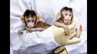 Обезьян клонировали, вирус оспы выложили в интернет!  Новости на QWERTY