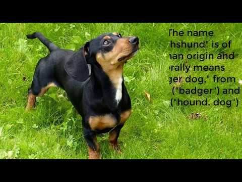 Dachshund dogs are a popular small dog