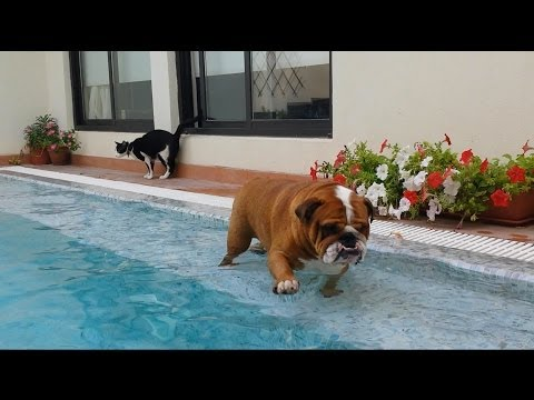 English Bulldog Really wants to swim
