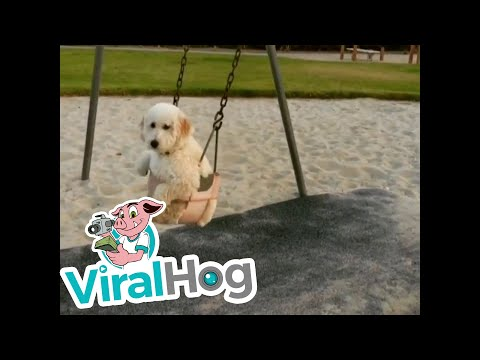 Doc Reno - Pooch Enjoying A Swing At The Park