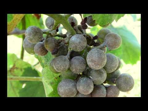 Оидиум винограда - методы борьбы и профилактика | профилактика | винограда | признаки | болезни | оидиум | методы | лечить | борьбы | чем