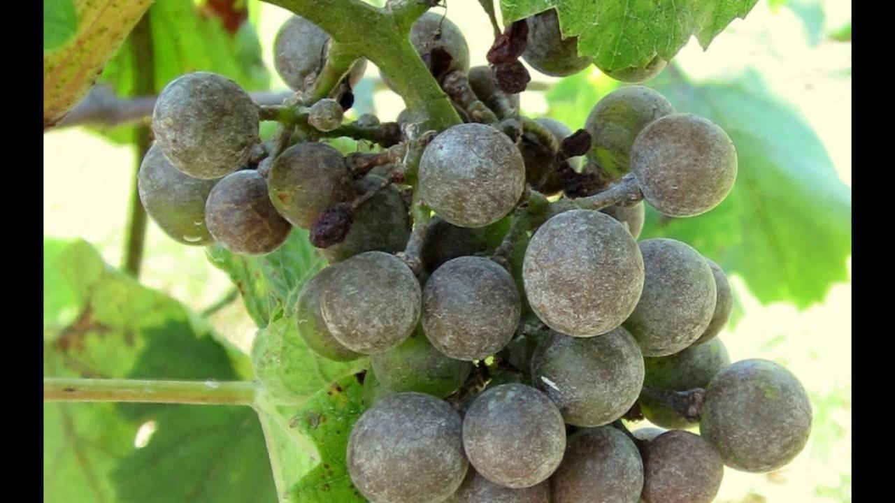 Оидиум (мучнистая роса) на винограде, как бороться, чем опрыскивать видео