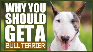 5 Reasons Why YOU SHOULD Get A BULL TERRIER
