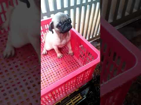 Chó pug con_ Chó mặt xệ con thuần chủng.