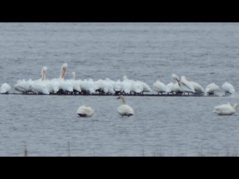 Flock Of American White Pelican Birds Preening & Roosting | Swans Calling & Flying Away