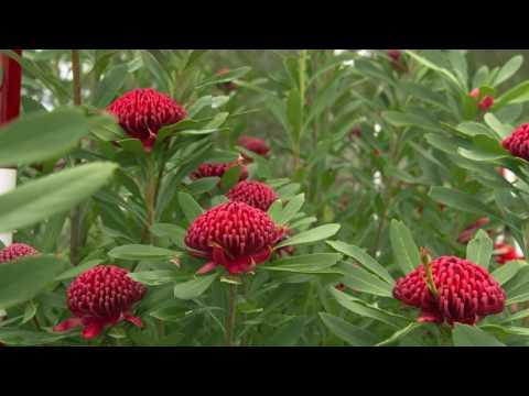 The Garden Gurus - Iconic Australian Natives