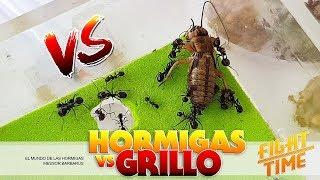 Gambar cover Hormigas VERSUS Grillo | Top peleas de insectos ! Messor barbarus