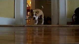 Pit Bull Puppy Barking