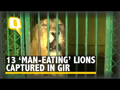 The Quint: 13 Asiatic Lions Caged in Gir After Attacks on Humans