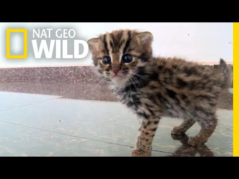 This Rescued Kitten Isn't Just Any Cat—It's a Wild Leopard Cat | Nat Geo Wild