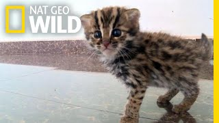 This Rescued Kitten Isn't Just Any Cat—It's a Wild Leopard Cat | Nat Geo Wild