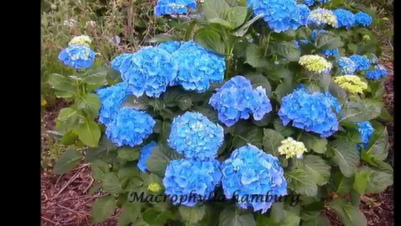 Hortensias hd 3d arte y jardiner a dise o de jardines for Imagenes de jardines con estanques