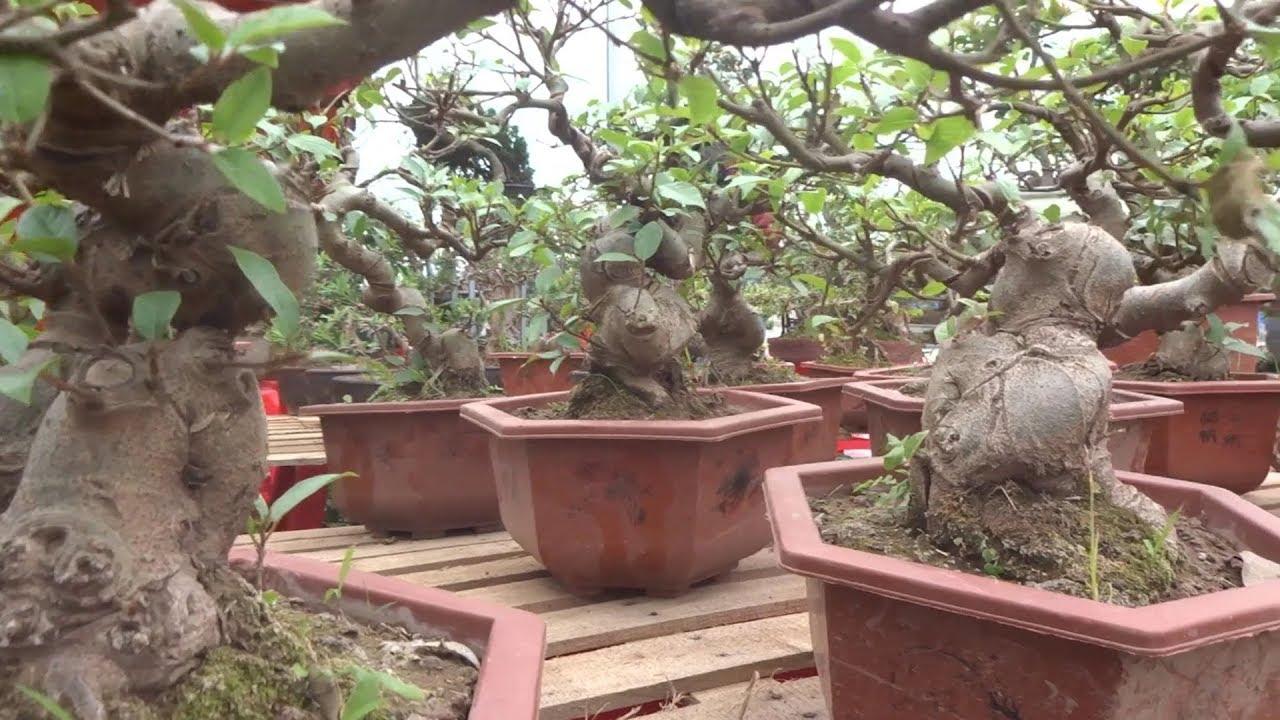 Đồng giá 200 nghìn sung quái, tùng la hán, lộc vừng mua nhiều rẻ hơn nữa – bonsai market in Nam Dinh