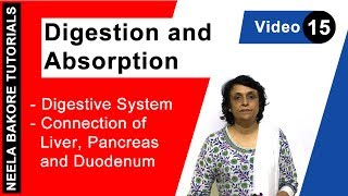 Digestion and Absorption - Digestive System - Connection of Liver, Pancreas and Duodenum