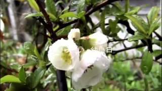 「さんざしの花咲けば」安達 明cover