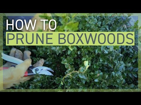 how-to-prune-your-boxwoods