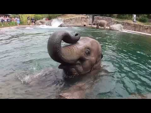 Oregon Zoo elephants cool off in the pool