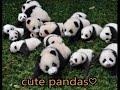 cute giant panda  with keeper かまってほしい パンダが飼育員さんにオジャマ攻撃❤