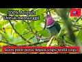 Suara Burung Walik Walik Ungu Walik Kalung Suara Burung Punai Punai Kepala Ungu Punai Kalung  Mp3 - Mp4 Download