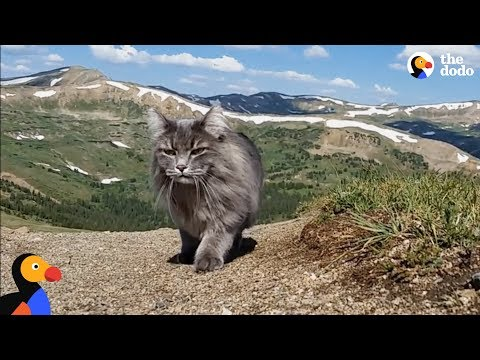 Adventure Cat Loves Swimming, Climbing Mountains With Parents | The Dodo