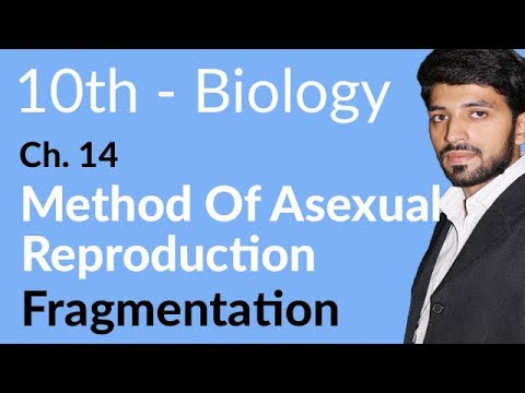 Fragmentation   Biology Chapter 14 Reproduction   10th Class