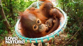 Baby Primates Love Their Caretakers | Baby Orangutans Compilation | Love Nature