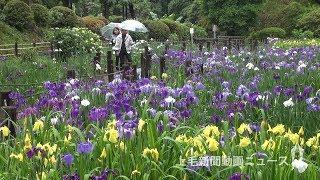 梅雨彩るハナショウブ 桐生・吾妻公園