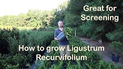 Ligustrum Recurvifolium is the make your neighbor go away plant